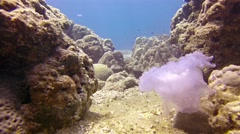FullHD video - A dead jellyfish tumbles end over end in the surging current a Stock Footage