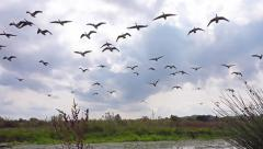 Geese in flight Stock Footage