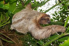 Wild brown-throated three-toed sloth in the jungle Stock Photos