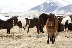 Herd of Icelandic horses Stock Photos