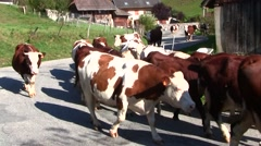 French Alps Cows coming down to the pastures for winter - stock footage