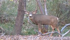 Mature Mule Deer Buck Poses then Follows Hot Doe in Woods Stock Footage