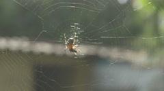 Spider feeding time [4K] Stock Footage