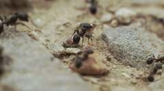 Macro ants overview,working,carrying food to their nest. Stock Footage