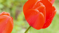 Red tulips on the nature. - stock footage