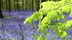 Bluebell flowers in Halle Forest. Stock Footage