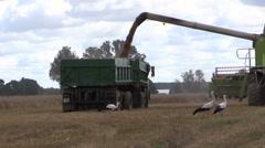 Harvester unloads wheat grain on farmland field background Stock Footage