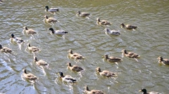 Flock of many wild ducks swimming in a pond in spring Stock Footage