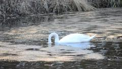Cygnus olor. Beautiful white mute swan dips its head into water Stock Footage