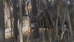 Courting Buck in Thick Saplings With Head Down Feeding Stock Footage