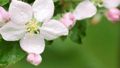 Blooming apple tree 34 Stock Footage