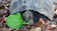 Aldabra giant tortoise eats leaves Stock Footage