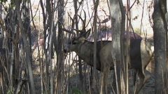 Rutting Buck Panting in Thick Saplings Version Two Stock Footage