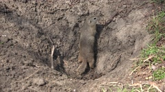 4K Weasel by Hole, Home in Field, Otter, Mink, Marten Searching for Food to Eat Stock Footage