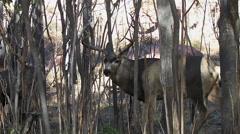 Panting Rutting Buck in Thick Saplings - stock footage