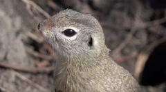 4K Macro Weasel by Hole in Field, Otter, Mink, Marten Searching Food, Close up Stock Footage