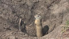 Close up Weasel by Hole, Home in Field, Macro Otter, Mink, Marten Closeup Stock Footage