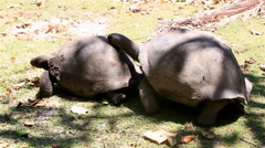 Male courts the female Aldabra giant tortoise Stock Footage