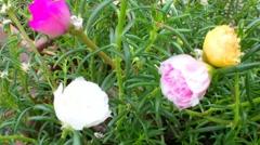 Beautiful Moss-rose flower Stock Footage