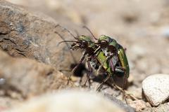 Field Tiger Beetle in mating - stock photo