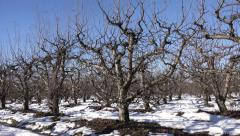 4K Apple Tree Branches Fruits Orchard Winter Sunny Ray Red Jonathan Snow Harvest Stock Footage