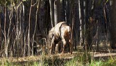 Mule Deer Buck Has Difficulty Walking Into Thick Saplings Stock Footage