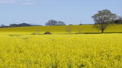 Yellow Fields Stock Footage
