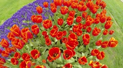 Overfly a variety of red tulips & hyacinth Stock Footage