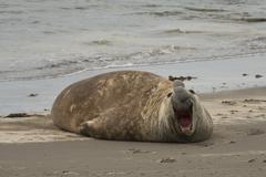 Elephant seal in Ponta Delgada Stock Photos