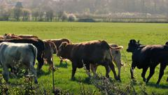 Cows Running In Sunny Field Stock Footage