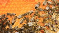 Honey bees in honeycomb Stock Footage