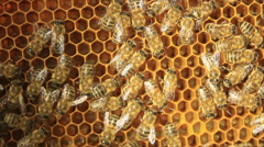 Honey bees on yellow comb Stock Footage