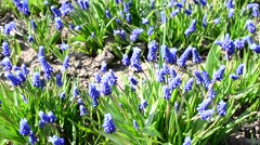 Muscari meadow with bees collecting nectar and pollen on them - stock footage