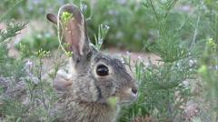 Cottontail Rabbit Close Up - stock footage