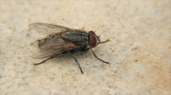Housefly Stock Footage