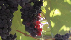 Bunches of grapes in sunbeams Stock Footage