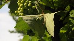 Big vine leaf on grapevine - stock footage