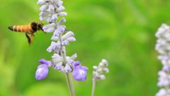 Honey Gathering Bee Stock Footage