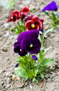 Flower bed of growing up in a series of multi-colored pansies Stock Photos