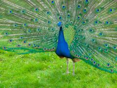 Peacock with spread feathers - stock photo