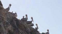 Pelicans On Top Of Rock - California Stock Footage
