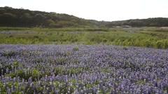 Field of Bluebonnets in Texas. Stock Footage