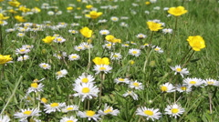 Buttercups and Daisy Lawn Stock Footage