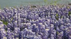 Close Up of Bluebonnet Flowers in Field. Stock Footage