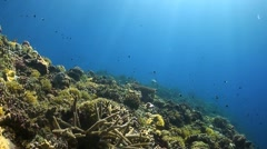 Whitetip Reef Shark on a coral reef Stock Footage