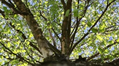Trunk and branches of birch Stock Footage