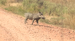 WARTHOG, SOUTH LUANGWA NATIONAL PARK, ZAMBIA - CIRCA MAY, 2009 Stock Footage