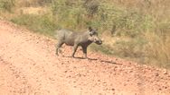 Stock Video Footage of WARTHOG, SOUTH LUANGWA NATIONAL PARK, ZAMBIA - CIRCA MAY, 2009