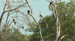 Vultures in the SOUTH LUANGWA NATIONAL PARK, ZAMBIA Stock Footage