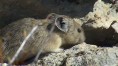 Alpine Pika Foraging on Mountain at Yellowstone NP Stock Footage